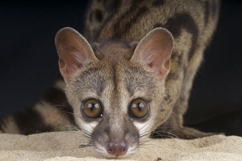 Spotted-Genet
